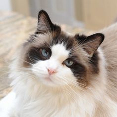 Seal Bicolor Ragdoll by MrsNikon Cute Cats And Kittens, Cool Cats, Kittens Cutest, Pretty Cats, Beautiful Cats, Animals Beautiful, Ragdoll Cat Breed, The Animals, Especie Animal