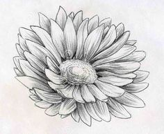 Pencil Sketch Daisy Flower Drawings Drawing