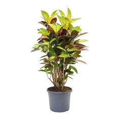 Codiaeum Iceton - Croton - 31 x Foliage Plants, Air Plants, Garden Plants, Vegetable Garden, Air Cleaning Plants, Tall Planters, Indoor Plant Pots, Planting Flowers, Planting Plants