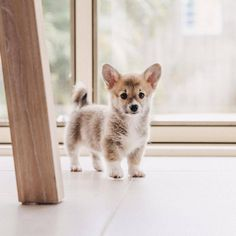 """Corgi Feed (@corgifeed) on Instagram: """"What's that over there? Follow @babypuppyfeed and @corgifeed to make your day pawesome! Tag…"""""""