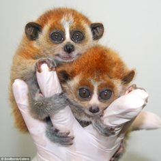 Adorable: Baby Slow Loris Cai and Nam both fit into the palm of their keepers hand in Moody Gardens, Texas