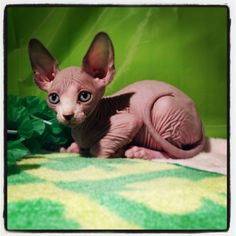 You asthmatic? You can have me. Eli, Sphynx Bambino Hairless cat kitten
