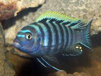 Cynotilapia afra, aka. Afra Cichlid -  The Afra Cichlid is a brightly colored mbuna from Lake Malawi Africa.