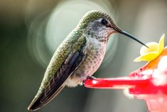 Did you know some hummingbirds overwinter in the western parts of the U. If you're still feeding hummingbirds near your home, here are some tips to help them thrive. - Have a question? We've got answers. Hummingbird Feeder Recipe, Make Hummingbird Food, Hummingbird Nectar, Ruby Throated Hummingbird, Nectar Recipe, Insect Eggs, Wild Birds Unlimited, Natural Food Coloring, Migratory Birds