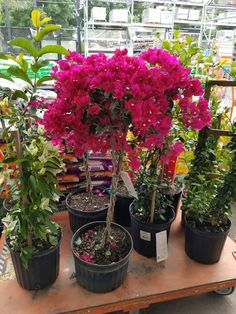 Bougainvillea tree at Home Depot                                                                                                                                                     More
