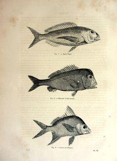 1860 Amazing antique fish print strange fishes by LyraNebulaPrints, $24.99