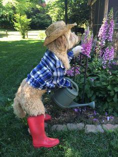 goldendoodle Max in his garden