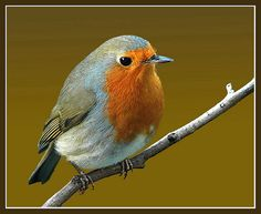 new robin