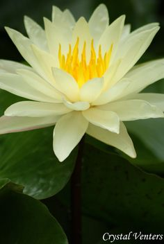White Water Lily by Crystal Venters poetcrystaldawn.deviantart.com on @deviantart