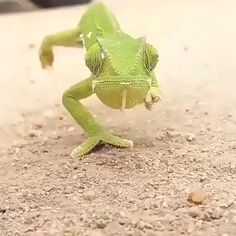 I have my eye on you! This is my favorite creature! 🐊 Chameleon walking straight towards me! Funny Animal Videos, Cute Funny Animals, Cute Baby Animals, Funny Birds, Cute Reptiles, Reptiles And Amphibians, Nature Animals, Animals And Pets, Tier Fotos