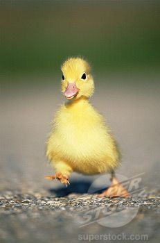yellow baby ducks walking - photo #10