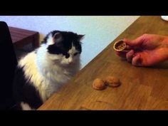 This smart cat love to play guessing game, it can find it whatever you try, cute Cat plays guessing game. Funny Cats And Dogs, Cats And Kittens, Funny Animals, Cute Animals, Crazy Cat Lady, Crazy Cats, Shell Game, Cat Hacks, Thing 1