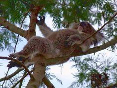 《澳洲旅遊照片TOP10》看到無尾熊忍不住按讚啦w