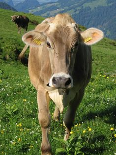 Brown Swiss is a breed of dairy cattle that originated on the slopes of the Alps in Switzerland; because they were bred in this harsh climate, they are resistant to the heat, cold and many other common cattle problems.  Many dairy historians consider the breed to be the oldest of all the dairy breeds.