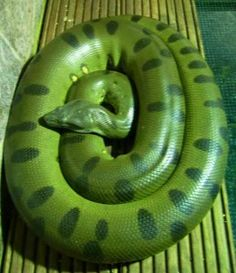 largest-snake-in-the-world-green-anaconda