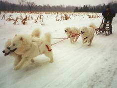 Breed Origin and History. Samoyed History Hardy, vibrant and even-tempered, the Samoyed was originally used to hunt, herd reindeer, and haul sledges for the Samoyede people they ser
