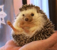 Hedgehog tries to uncurl, but gives up in anger.