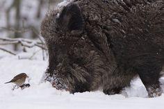 Ware liefde tussen wild zwijn en roodborst.