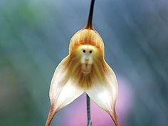 monkey face orchid, Dracula simia (4)
