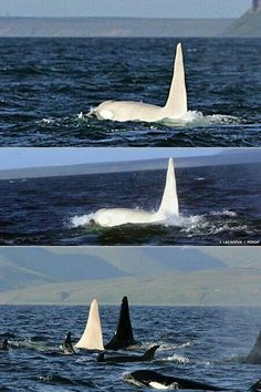 The white orca