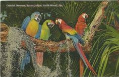 """Vintage Linen Postcard """"Colorful Macaws, Parrot Jungle, South Miami, Fla."""" 1938 Curteich"""