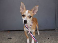 TO BE DESTROYED - 07/09/14 Brooklyn Center **NEW PHOTO**  My name is MAX. My Animal ID # is A1005560. I am a male tan and white chihuahua sh mix. The shelter thinks I am about 1 YEAR   I came in the shelter as a OWNER SUR on 07/03/2014 from NY 11368, owner surrender reason stated was NO TIME.  https://www.facebook.com/photo.php?fbid=834184986594382set=a.611290788883804.1073741851.152876678058553type=3theater