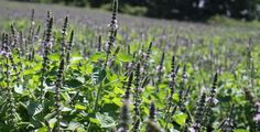 All about three varieties of Holy Basil or Tulsi.