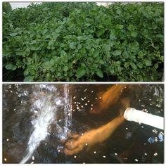 Growing Watercress & raising golden tilapia at home in aquaponic gardening