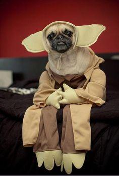 Yoda-pug!
