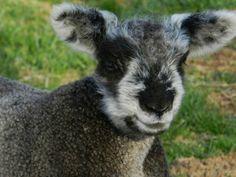 Condoleezza Spring Lambs, Yarns, Sheep, Goats, Animals, Animales, Animaux, Animal, Animais