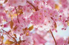 Sakura by littlemewhatever.deviantart.com on @deviantART