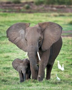 Mama and Baby Ella! Save the Elephants! Elephant Love, Elephant Art, African Elephant, Safari Animals, Cute Baby Animals, Animals And Pets, Wild Animals, Beautiful Creatures, Animals Beautiful