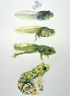 Botanical Drawings, Botanical Art, Botanical Illustration, Frosch Illustration, Illustration Art, Illustrations, Frog Drawing, Nature Drawing, Metamorphosis Art