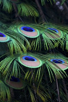 Lovely peacock feathers