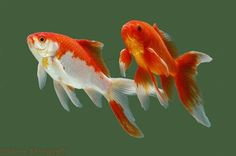 Types of Goldfish | 10 Interesting Goldfish Facts