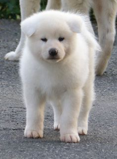 white akita inu puppies pictures