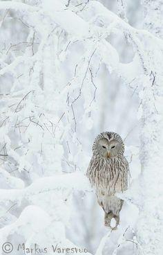 Gorgeous photo of an owl, Norway