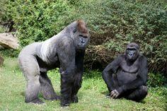 Sexual Dimorphism in Non-Human Primates Female Gorilla, Chimpanzee, Orangutans, Muscular Strength, Mountain Gorilla, Human Evolution, Lemur, Primates, Old World