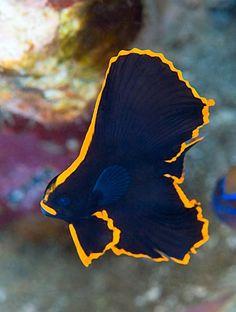 A juvenile pinnate spadefish Beautiful