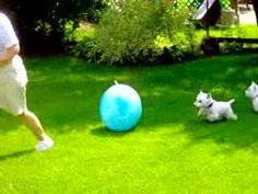 westie big ball - really gets them running. This is my dog's favorite toy as well!!!