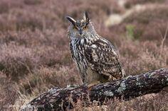 EAGLE OWL | Eurasian Eagle Olw