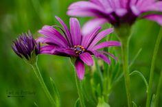 Purple Power African Daisy Daisy Flower by TimeisPreciousPhotos