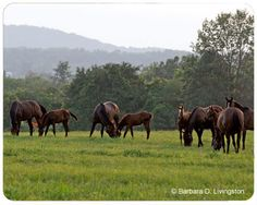 Rock Ridge Stud, a full service thoroughbred horse farm in New York. Thoroughbred Horse, Horse Farms, Horse Racing, Cow, Horses, Animals, Animaux, Horse, Animal