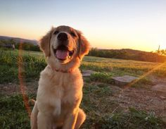 Follow us - @goldenretrieverslove_ To be Featured ❤❤❤ Tag your love Via: @Instagram + @Pinterest DoubleTap & Tag a Friend Below⤵ -------------- #goldenretriever #goldenretrievers #goldenretrieverpuppy #goldenretrieversofinstagram #shirt #tshirt #dogshirt #fashion #instafashion #retrievershirt #goldenretrievershirt #furryfriends #animals #puppy #dogs #pets #Golden #Retriever #welovegoldens #goldens #goldenretrieverlove #goldenretrieversworld #goldenretrievers_