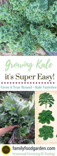Growing Kale + Kale Varieties
