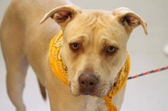 ADOPTED>NAME: Nadia  ANIMAL ID: 30219137  BREED: Pit mix  SEX: Female  EST. AGE: 2 yr  Est Weight: 45 lbs  Health: heartworm neg  Temperament: dog friendly, people friendly  ADDITIONAL INFO: RESCUE PULL FEE: $37 (Sposored $12) Intake date: 12/18  Available Now