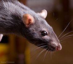 Keep rats and mice out of the chicken coop with these seven tips! Photo courteys Zoonar/Thinkstock (HobbyFarms.com)