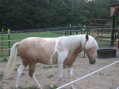 Stan, Palomino Tobiano Chincoteague Pony Stallion