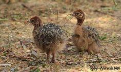 Cute ostrich  #babyanimals #babyostrich #ostrich #cuteostrich #littleostrich #sweetostrich #ostrichphotos #babyostrichpictures