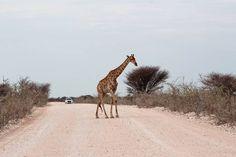 "136 Gostos, 3 Comentários - Rita Jorge   T R A V E L (@episodesofatrip) no Instagram: "". Follow @episodesofatrip #episodesofatrip . . . . . #namibia🇳🇦 #africanprintlovers…"" Giraffe, Animals, Instagram, Felt Giraffe, Animales, Animaux, Giraffes, Animal, Animais"